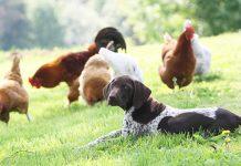 Hundskolan, inkallning