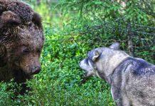 Björn, björnhund, jämthund