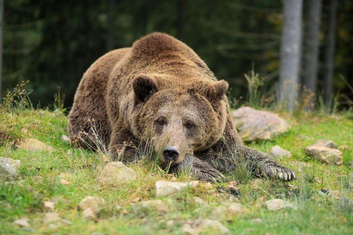 björnjakt 2019 Gävleborg