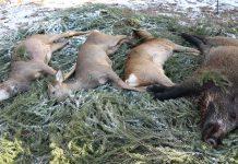 Drevjakt i Alunda, rådjur, vildsvin