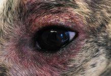 Allergier hos hundar