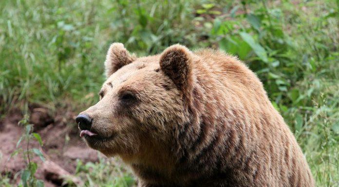 björnjakt jaktbrott björnattack