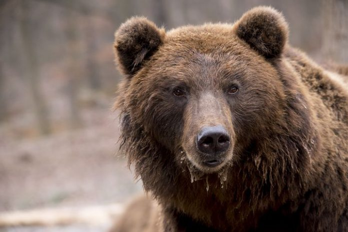 björnjakt