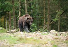 björn Björnjakt