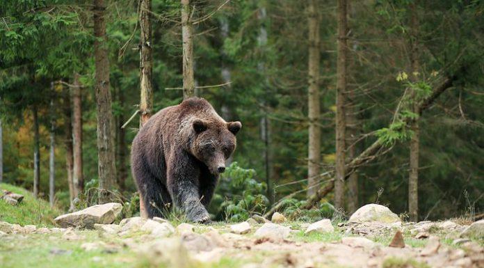 björn Björnjakt Björnåtel
