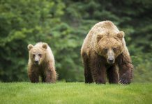 björn jaktbrott