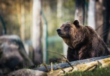 björn skyddsjakt