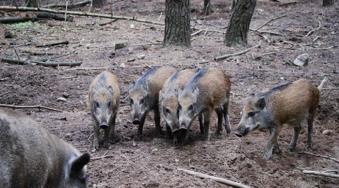 vildsvin skyddsjakt