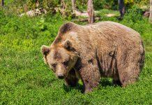 björnjakt viltvårdsområde åtel