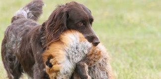 Hundträning apportering rävapport