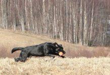 Hundskolan apportering
