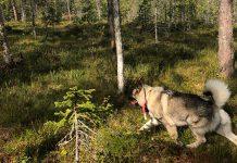 Älgjakt, Höga Kusten, gråhund, jaktfilm