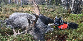 Älgjakt i Kiruna med jämthund