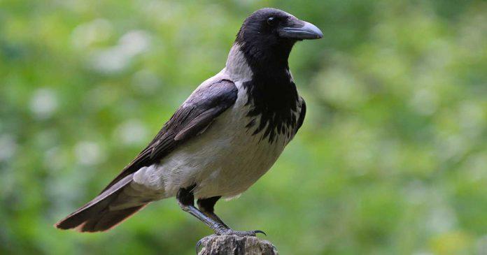 Gråkråka, Corvus corone cornix, Corvus cornix