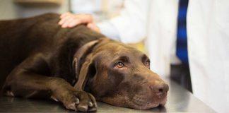 Hund, veterinär