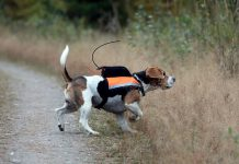 SmåviltsjaQt i Sidertjärn, beagle