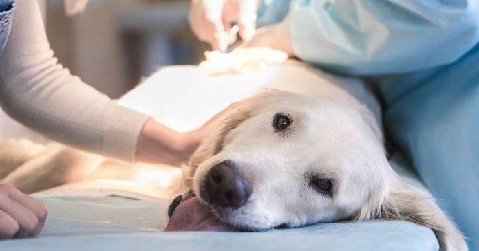 Hund veterinär