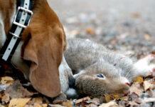 harjakt med beagle