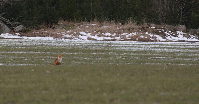Locka på räv